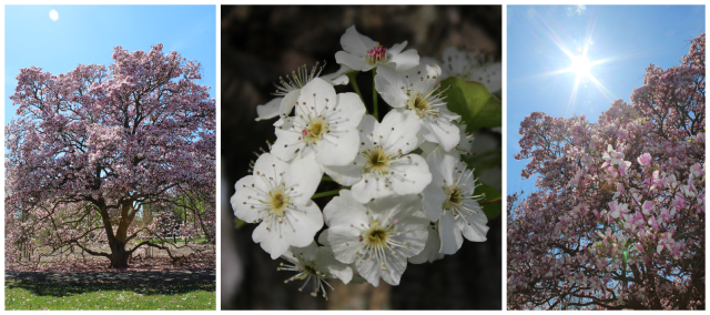 Cherry Blossoms Collage 5