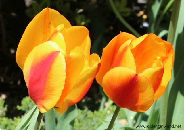 Tulips Blog
