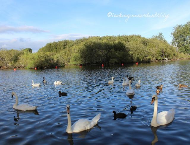 Swans Blog